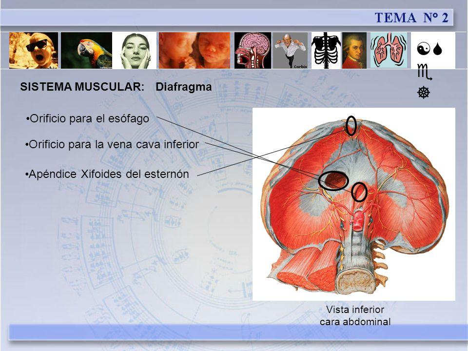 [Se] SISTEMA MUSCULAR: Diafragma Orificio para el esófago